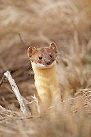 A Long Tailed Weasel peeks out of its burrow alongside a rural dirt road in Utah.