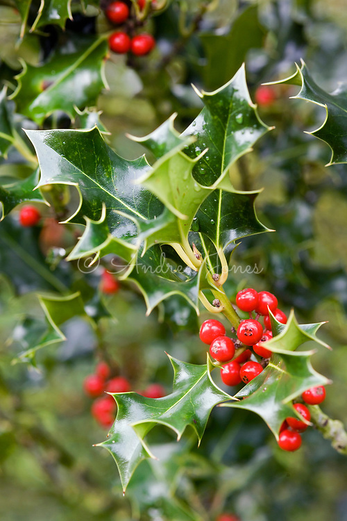 Ilex aquifolium 'Green Pillar'<br /> Holly