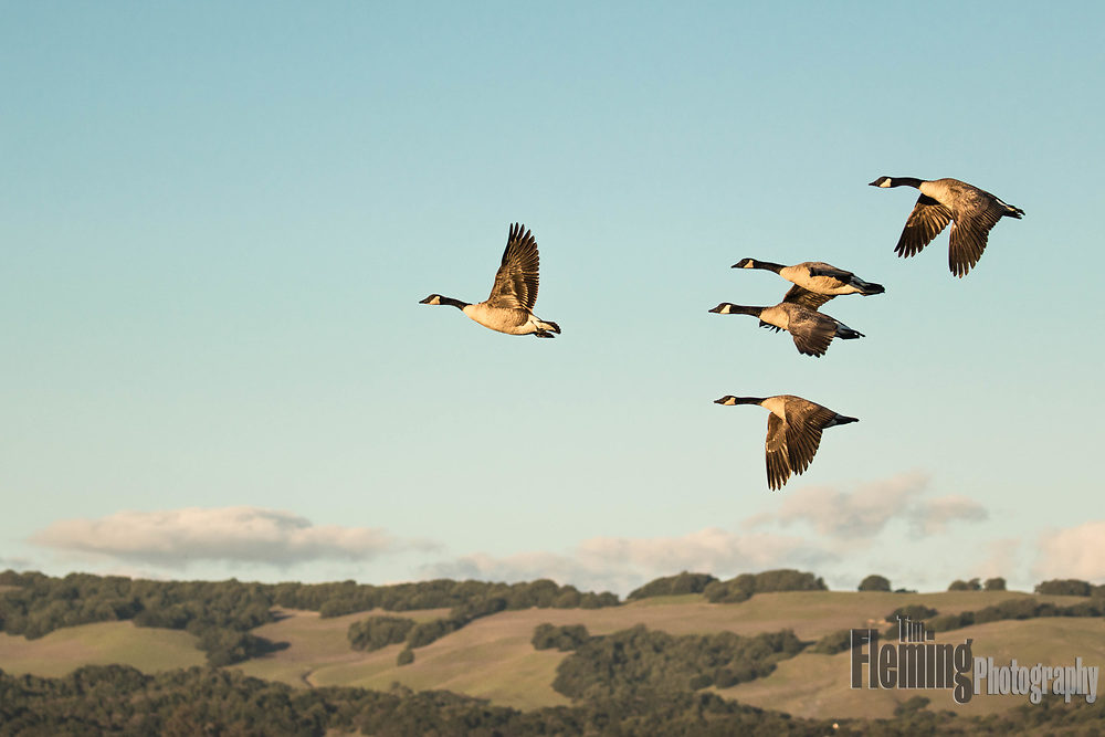 Canada Geese flying above the Ellis Creek Water Recycling Facility in Petaluma, California
