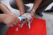 TIANJIN, CHINA - AUGUST 28: (CHINA OUT) <br /> <br /> Two-head And Three-ear Piglet Found<br /> <br /> Yang Jinliang, whose friend picks up a piglet with two heads and three ears and gives him, touches piglet in Xiqing District on August 28, 2015 in Tianjin, China. Yang Jinliang, a man who is owner of a sesame oil workshop in Xiqing District of Tianjin, received a piglet from friend on Thursday while curiously the piglet had two heads and three ears. It seemed that its weak body could not afford the laden head so it always bowed. Nobody knew where it came and why it would be like that. <br /> ©Exclusivepix Media