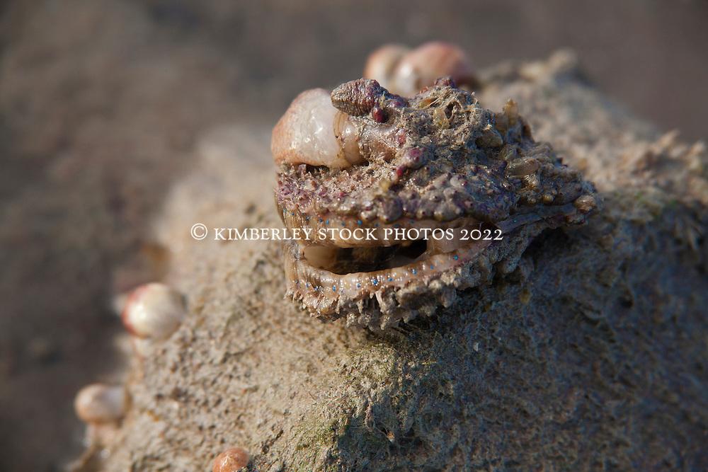 A delicate scallop shell on a sandbank in Deception Bay in Camden Sound.