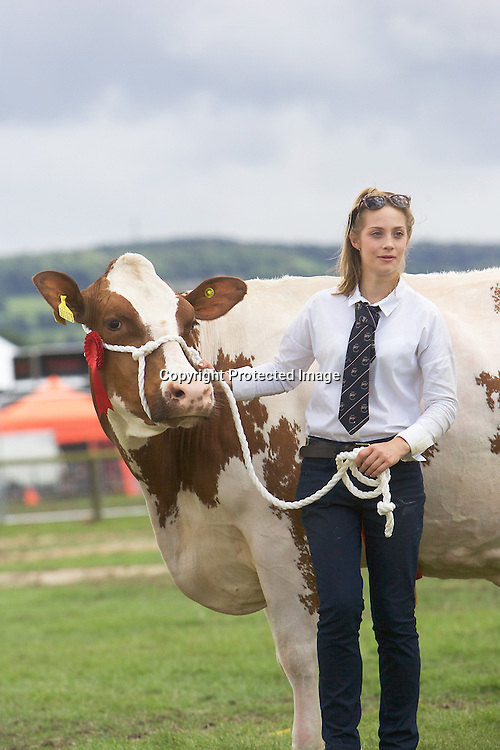 Cattle at Bakewell Show 2016