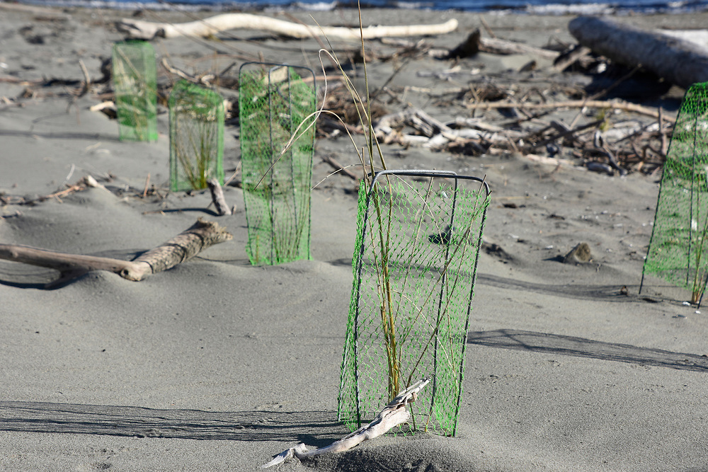 New seedlings plants being ptoected by small mesh frames on the beach at Wellington