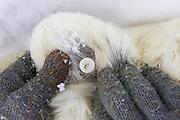 Polar Bear<br /> Ursus maritimus<br /> Ear identification tag of adult female<br /> Wapusk National Park, Canada