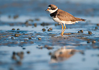 A semipalmated plover stands upon a mud flat at Rachel Carson Estuarine Reserve with reflection in the water