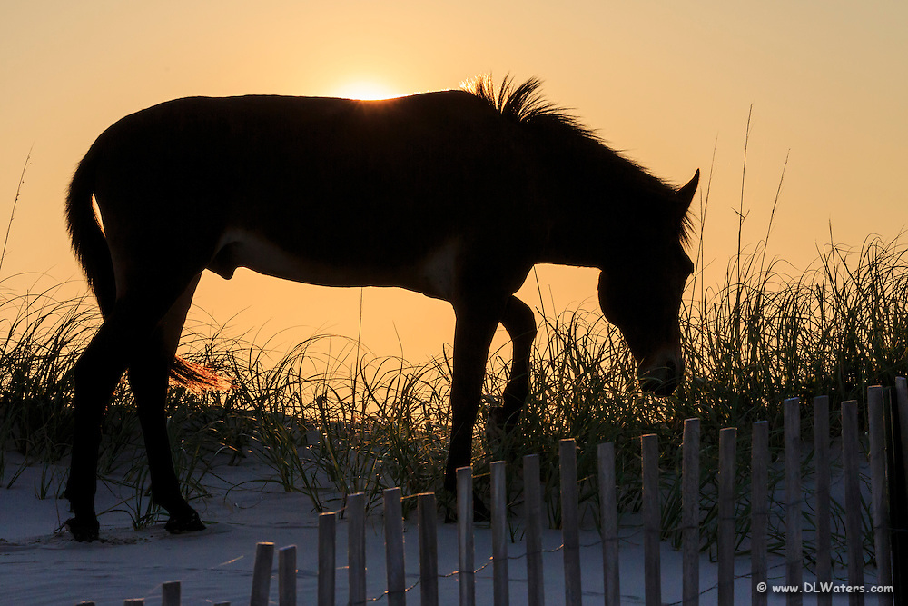 Stallion silhouette on top of a Carova Beach dune on the Outer Banks.