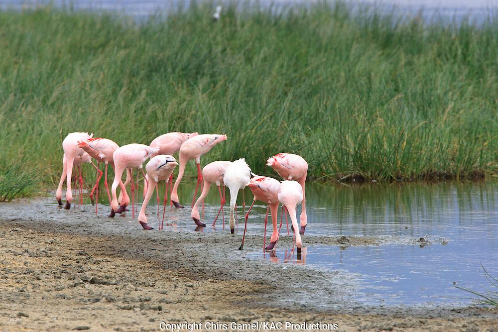Flock of Lesser Flamingos (Phoenicopterus mino) filter feeding in the wetlands, Ngorongoro Conservation Area, Tanzania, Africa; near threatened species; filter feeder; social feeding