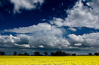 Colourful fields of canola contrast against deep blue skies in northern Victoria, Australia.