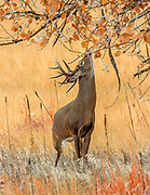 A mature Whitetail buck marks his territory with his pre-orbital scent gland.