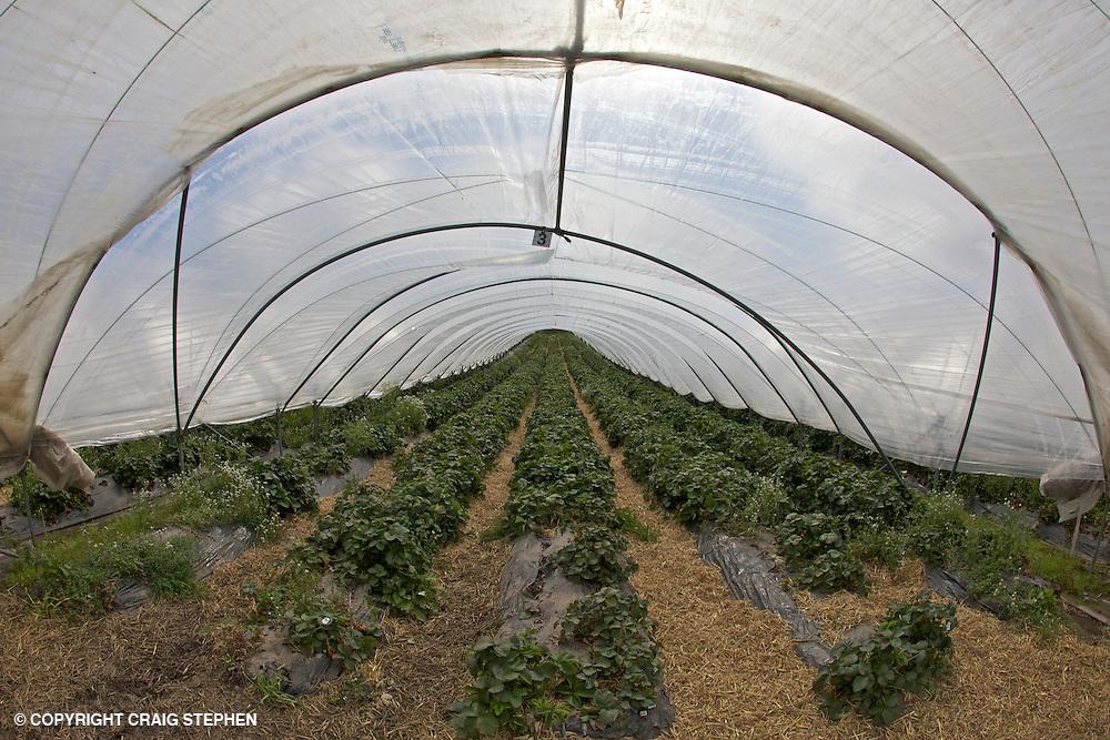 Strawberry polytunnels in Perthsire, Scotland