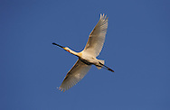 European Spoonbill stork, Platalea alba,  Lake Kerkini, Macedonia, Greece
