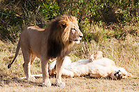 female and male Lion  in the  Masai Marra reserve in Kenya Africa