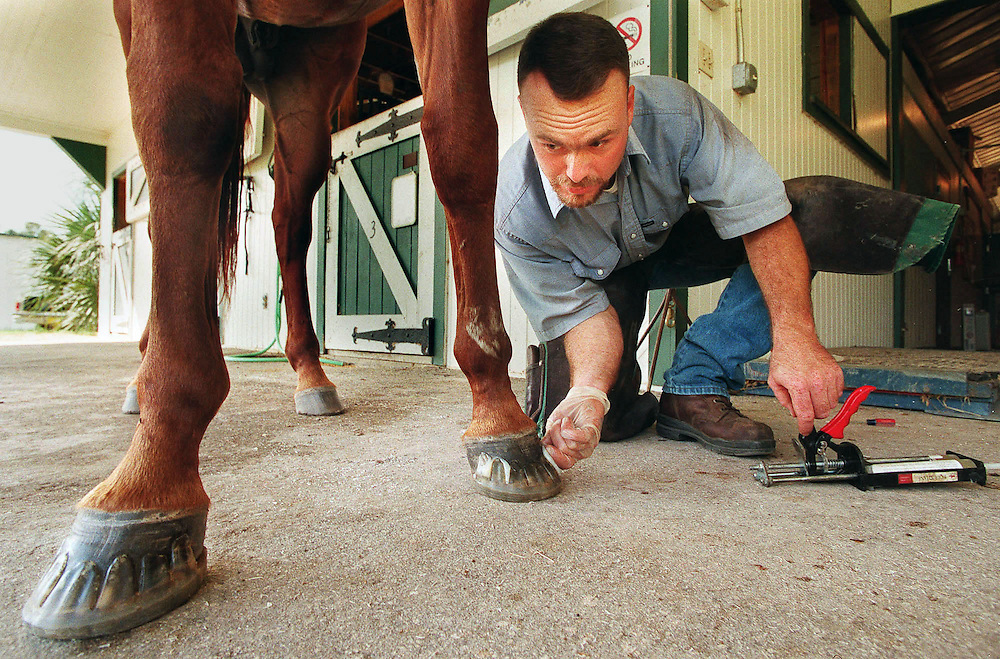 "Dane Conway, farrier from Archer, Fla., glues special corrective shoeing on a horse, Thursday 10/12, at the University of Florida's Institute of Food and Agricultural Sciences, horse teaching unit. While huffs usually are strong enough for regular nail-on shoes, these are too soft and require corrective glue-on shoes. The horse, whose name is ""A Stylin' Mister,"" won first place in American Quarter Horse Association competition in 1993. (AP Photo: Eric Zamora, University of Florida/IFAS)"