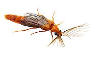 Glowworm Beetle (Phengodes sp.) - male<br /> TEXAS: Travis Co.<br />Barton Creek Preserve; Bee Caves<br />22.May.2012<br /> J.C. Abbott #2593 &amp; K.K. Abbott