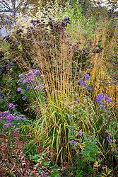 Combination of Aster novae-angliae seedling, Corylus avellana 'Red Majestic', Molinia caerulea subsp. arundinacea 'Skyracer' and Aconitum carmichaelii var. truppelianum at Cotswold Garden Flowers