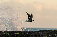 A Kelp Gull takes off from exposed intertidal rock flats at low tide, De Hoop Marine Protected Area, Western Cape, South Africa