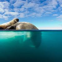 Norway, Svalbard, Spitsbergen Island, Underwater view of Walrus (Odobenus rosmarus) preparing to dive from ice floe