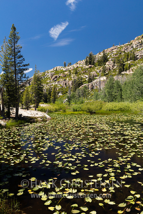 Lilly pads float on the surface of a lake, Emigrant Wilderness, CA.