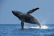 humpback whale, Megaptera novaeangliae, Endangered Species, breaching, Hawaii Humpback Whale National Marine Sanctuary, Kohala, Kona, Hawaii ( Central Pacific Ocean )