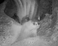 Adult female peregrine falcon leaps at packrat near eyrie at night. [photo by motion-activated infrared camera, low-resolution limits repro. size] © 2016 David A. Ponton