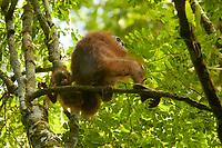 "Bornean Orangutan - ""wurmbii"" subspecies<br />(Pongo pygmaeus wurmbii)<br /><br />Cabang Panti Research Station<br />Gunung Palung National Park<br />West Kalimantan, Indonesia<br />Borneo Island<br /><br />Female = Beth<br />Infant = Benny"