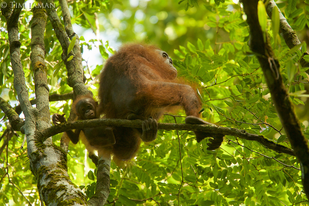 Bornean Orangutan - &quot;wurmbii&quot; subspecies<br />