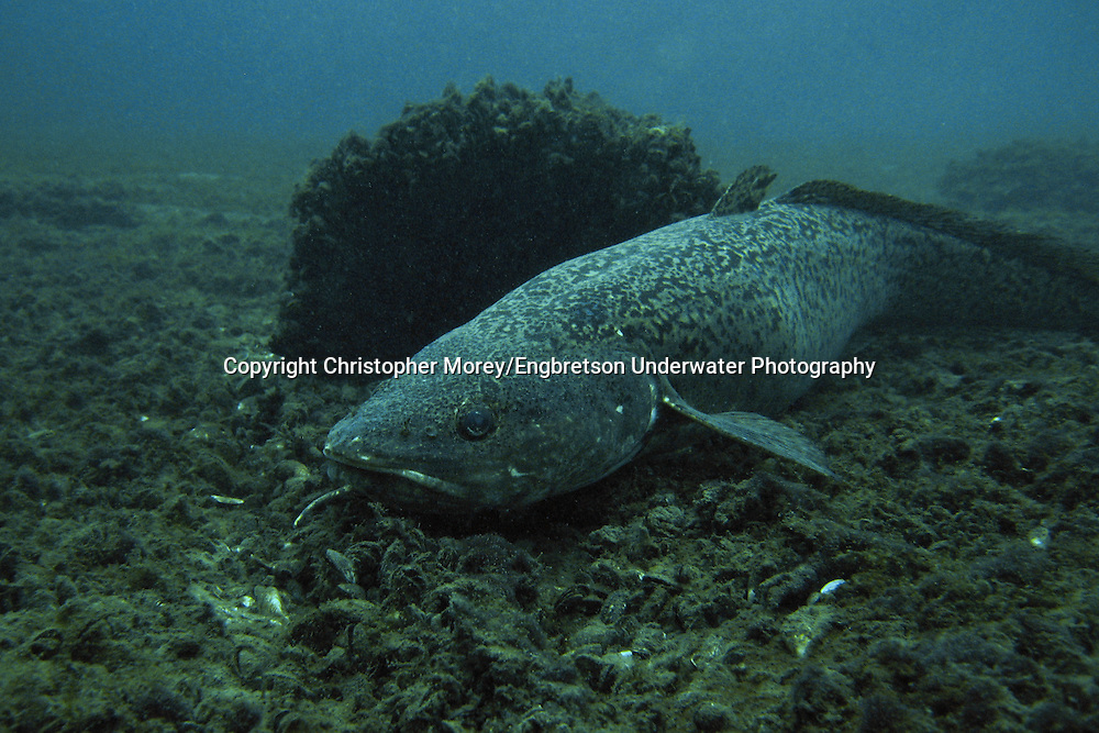 Burbot<br /> <br /> Christopher Morey/Engbretson Underwater Photo