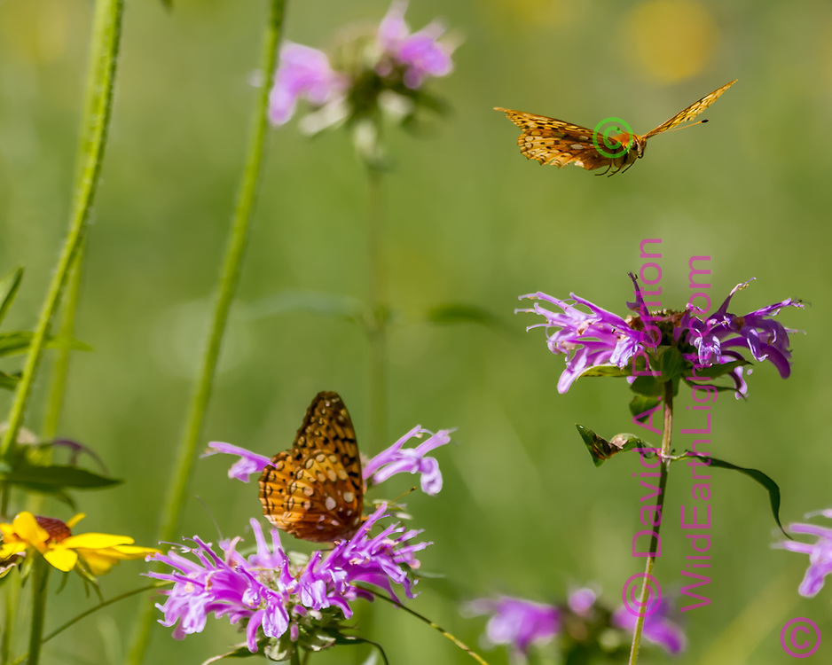Fritillary butterfly flies over horsemint blossoms where another is feeding on nectar, mountain wildflower meadow, Jemez Mountains, NM. © 2010 David A. Ponton