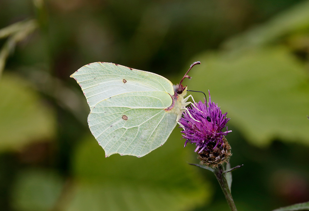 Brimstone - Gonepteryx rhamni - female. Wingspan 60mm. A colourful butterfly and a harbinger of spring. Adult has distinctive wings: rounded overall with pointed tips; those on the forewings are hooked. Male is brimstone-yellow; female is much paler and could be mistaken for a Large White in flight. Single-brooded: adults hatch in August, then hibernate and emerge on sunny spring days. Larva is green with pale lateral line; feeds on Buckthorn and Alder Buckthorn. Locally common in England and Wales.