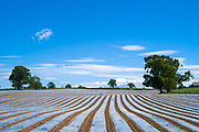 Polythene sheeting as crop covers protect new growth plants against adverse weather and pests in agricultural fields in Cumbria England