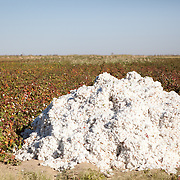 A pile of cotton in a cotton field, southern Turkmenistan