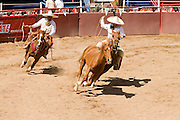 31 AUGUST 2007 -- PHOENIX, AZ: Managanas a caballo in which a charro on horseback has three tries to rope a wild mare by its front legs at the Congreso y Campeonato Nacional Charro in Phoenix, AZ, Friday, August 31. The event is the US championship for the Mexican Federacion Mexicana de Charreria. The winners of the US championship go on to compete in the Mexican Charreada championships in Morelia, Michoacan, Mexico in October. Charreadas are Mexican style rodeos that are popular in Mexican communities throughout the US. As the Mexican immigrant community has expanded throughout the US, the sport has expanded with it. Charreadas are now held as far north as Minnesota and along the US - Mexico border.   Photo by Jack Kurtz