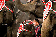 "Elephant trainer Tim Frisco takes refuge from the rain under his herd during a show at the Montgomery County Fairgrounds in Gaithersburg, Md. The Cole Bros. Circus of the Stars is celebrating its 127th season and bills itself as the ""World's Largest Circus Under The Big Top."""