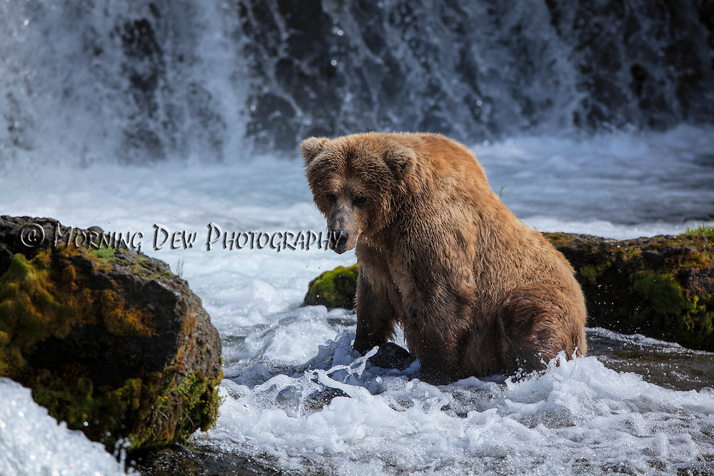 A brown bear sow waits for a passing salmon at the base of Brooks Falls.