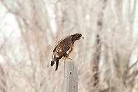 An immature Bald Eagle sits on a power pole overlooking a farming pond in a small snow storm.