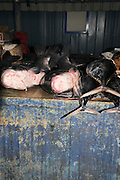 Negombo Fish market, Sri Lanka. The catch of the day