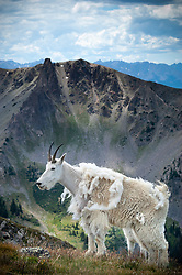 A mountain goat (Oreamnos americanus), also known as the Rocky Mountain goat, surveys the Byers Peak Wilderness in Colorado from the slopes of Byers Peak. Mountain goats are protected from harsh winter elements with their wooly double coats. Their undercoats of fine, dense wool is covered any an outer layer of longer, hollow hairs. In the spring, mountain goats molt rubbing their hair against bushes, trees and rocks to shed the thick wool during the warmer months. Mountain goats are herbivores spending most of their time grazing on grasses, plants and shrubs of their alpine habitat.