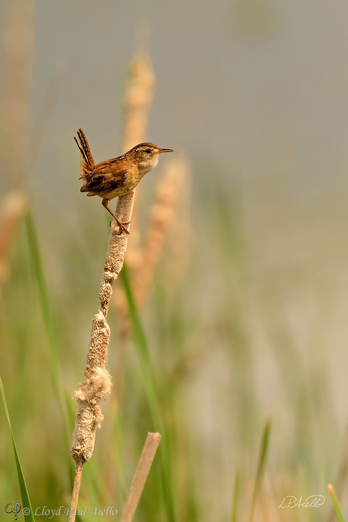The Marsh Wren (Cistothorus palustris) is a small, formally common, North American songbird inhabiting cattail marshes whose numbers have declined with the loss of suitable wetland habitat. Draining of marshes leads to its local extinction.  <br /> <br /> These birds forage actively in vegetation, sometimes flying up to catch insects in flight. They mainly eat insects, but may also consume spiders and snails.  The Marsh Wren sings all day and throughout the night producing a gurgling, rattling trill often used to declare ownership of its territory.<br /> <br /> The nest is an oval lump of woven wet grass, cattails, and rushes, which is lined with fine grass, plant down, and feathers.  It is attached to marsh vegetation and entered from the side. Industrious male Marsh Wrens build &quot;dummy nests&quot; in their nesting territories, occasionally up to twenty or more, although most are never used for raising young.  <br /> <br /> Normally four to six eggs are laid twice each year, although the number can range from three to ten.  The eggs are generally pale brown and heavily dotted with dark brown; although sometimes they may be all white. Only the female incubates the eggs which hatch after 13-16 days. The young leave the nest about 12-16 days after hatching.