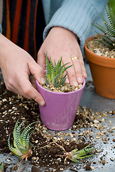 Dividing a succulent - Haworthia attenuata<br /> Potting up young offsets