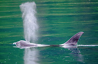 Killer whale bull spouting at Point Adolphus in Icy Strait in Southeast Alaska.