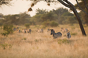 Zebras in late afternoon light, Tarangire National Park, Tanzania