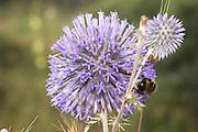 Israel, Echinops gaillardotii