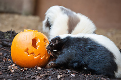 © Licensed to London News Pictures. 20/10/2015. Bristol, UK. Halloween for animals at Bristol Zoo.  A couple of two year old skunks, Mr Stink (male, brown and white) and Rogue (female, black and white), investigate a pumpkin. Photo credit : Simon Chapman/LNP