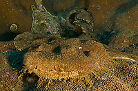 Tassled Wobbegong Shark (Eucrossorhinus dasypogon) lying in wait on top of a plate coral...Vicinity of Gam Island.