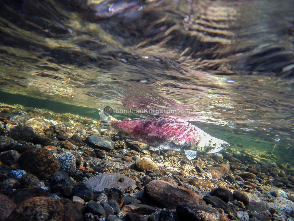Salmon in the shallow, clear waters of a stream near Juneau, Alaska.