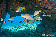 bluestripe snappers or ta'ape, Lutjanus kasmira, and other reef fish, shelter under lava arch at Golden Arches dive site, Kohanaiki ( Pine Trees ), Kona Coast, Hawaii, U.S.A. ( Central Pacific Ocean )