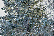 Great gray owl (Strix nebulosa).<br />