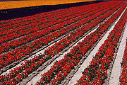 Row irrigation of flower plants grown for seed in Gilroy, California.