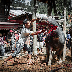 Man killing a water buffalo for the funeral celebration of an old woman, Tana Toraja, Indonesia