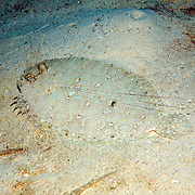 Maculated Flounder inhabit sand, rubble and areas mixed with sea grasses, often near patch reefs in the Bahamas and Caribbean; picture taken Utila, Honduras.